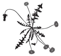 dandelion via makelike studio