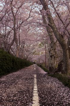 Spring road - Japanese scenery of the morning of spring. Season of cherry blossoms in full bloom. You will be surprised to see the beautiful scenery. This place is a suburb of Aichi Prefecture. Spring of Japan will bloom cherry. Sakura will be seen everywhere in Japan.