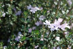 Westringia Edna Walling® Rosemary Westringia glabra x linifolia Attractive but tough plants suitable for screening are in high demand and Edna Walling® Rosemary is perfectly placed to fill the 'med… Australian Garden Design, Australian Native Garden, Garden Plants, House Plants, Small Shrubs, Low Maintenance Plants, Colorful Plants, Lilac Flowers, Plant Needs