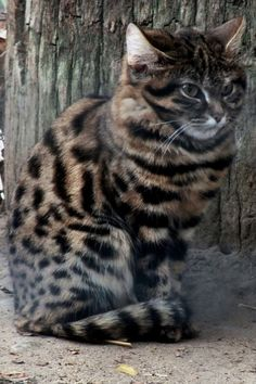 Black footed Cat This cat can traveling to 4 miles in a night hunting for prey. of her hunts are successful and she weighs less than 5 lb. Small Wild Cats, Big Cats, Cats And Kittens, Black Cat Breeds, Black Footed Cat, Sand Cat, Serval Cats, Rare Cats, Cat Whiskers