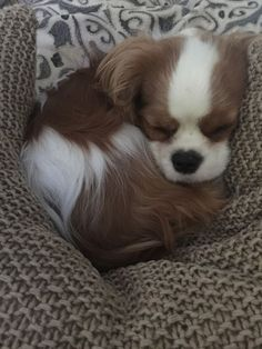 The traits we all respect about the Cavalier King Charles Spaniel Dogs King Charles Puppy, Cavalier King Charles Dog, King Charles Spaniel, Cute Dogs And Puppies, I Love Dogs, Doggies, Cavalier King Spaniel, Spaniel Puppies, Cute Animal Photos