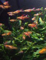 Żyworodne ryby akwariowe