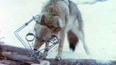 imagine the pain of terror....Royal Canadian Mounted Police (RCMP): Stop using real fur on the RCMP uniform (winter hat, parka etc)