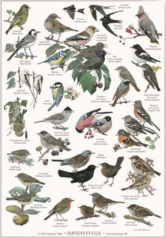 poster with motifs of garden birds. Illustrated by artist Carl Christian Tofte. New nordic design with more languages: danish - norwegian - swedish - english and latin. The titel of the poster is in english. Aarhus, New Nordic, Bird Poster, Old Oak Tree, Nature Posters, Humming Bird Feeders, Learn Art, Animal Posters, Nature Journal