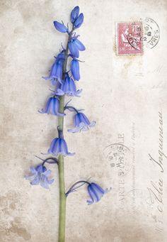 Bluebells symbolize gratitude. Sending Bluebells to you, Tere! xx