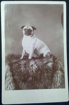 ORIGINAL ANTIQUE PUG CABINET CARD PHOTO CUTE CHUBBY DOG