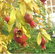 Grow Pomegranate Trees in Texas