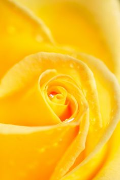 Yellow Rose                                                                                                                                                      Mehr