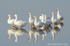 witte ganzen | witte-ganzen-spiegelbeeld | Spiegelbeelden En schaduwen met van alles ...