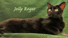 Jolly Roger has been adopted! Jolly Roger came to us from the old (now closed) St. Louis City animal control facility known as Gasconade three years ago having been an owner surrender at the age of 12. He is much loved by all who have spent time at Animal House, and his adoption at the age of 15 is such a blessing. Thank you universe for sending us a great family for Jolly Roger! Yippeeeee!