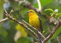 ホノオフウキンチョウ  Flame-colored tanager, Stripe-backed tanager (Piranga bidentata) female