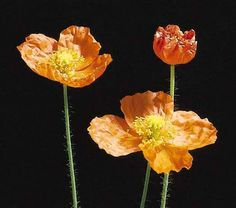 Facts on Iceland Poppy flower, including biology of the Iceland Poppy Plants, growing and care tips with pictures and recommended Iceland Poppy bouquet to buy and send. Icelandic Poppies, Poppy Bouquet, Crepe Paper Flowers, Hardy Perennials, Plant Design, Orange Flowers, Flower Beds, Color Splash, Wild Flowers
