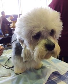 Gilbert is the lone Dandie Dinmont Terrier at the Westminster Dog Show this year.
