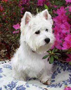 Photo's and vedio's of westies | Home of beautiful, loving, West Highland White Terriers