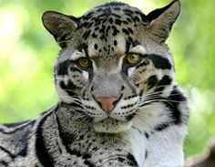 Clouded Leopard - Rare Asian Cat with Cloud Spots