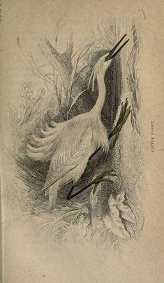 v. 3: Ornithology v. 3 (Birds of Great Britain and Ireland, Part 3; Memoir John Walker, D.D.) - The naturalist's library. - Biodiversity Heritage Library