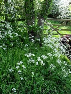 queen anne's lace… I make wreaths using this flower that I collect along the road in the country.  even the city!