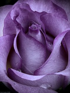 """""""Purple Rose"""" by Photo-Witch . gorgeous shade of purple Love This! The Purple, All Things Purple, Shades Of Purple, Light Purple, Magenta, Soft Purple, Purple Rain, Pretty Flowers, Purple Flowers"""