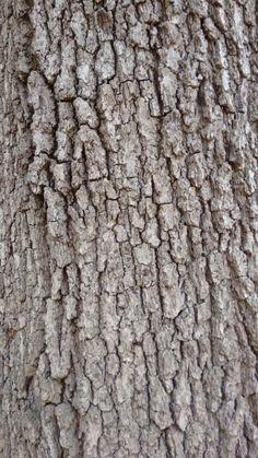 Oak tree bark. Spring 2016.