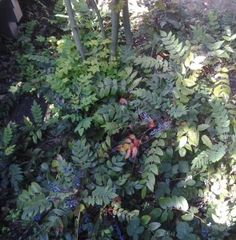 Mahonia Nervosa recommended for rain garden Vista Landscape, Landscape Design, Fruit Plants, Fruit Trees, Rain Garden, Lawn And Garden, Evergreen Groundcover, Oregon Grape, Early Spring Flowers