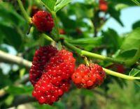 20 Samen Rote Maulbeere (Morus rubra), essbar, Maulbeerbaum, Amerikanische M.