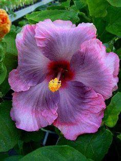 Tahitian Hibiscus.