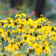 The droopy, lemon-yellow daisy thats native to the plains. Tough, useful plant for full sun in dry areas.  Perennial.