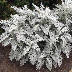 Dusty Miller (Cineraria Maritima Silverdust)  It is known for its attractive silvery-gray foliage and mounding form and makes a lovely accent plant in the border or in containers.  has lacy, lobed and deeply cut, silvery gray leaves and grows to 8 - 12 inches tall and wide, can winter over and act like a perennial in warmer areas, and mulching helps it survive the winter.. Flowers golden yellow. Silvery foliage makes a wonderful back-drop for brightly colored. Shear or pinch back