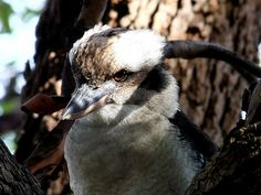 """Laughing Kookaburra     Fill Your Autoresponder Everytime with """"Full Meal Deal"""". social media bonanza!"""