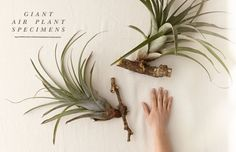 Giant air plants from shopterrain.com