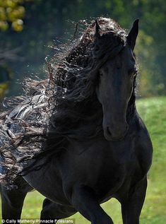 It's like someone crossed a horse with the hunky lead from a romance novel,' Fredrick the Great - Friesian stallion Most Beautiful Horses, All The Pretty Horses, Animals Beautiful, Majestic Horse, Majestic Animals, Cute Horses, Horse Love, Black Horses, Wild Horses