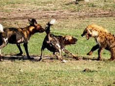 Wild Dogs protecting their kill from a Hyena close-by Buffalo Luxury Camp this morning. Get Closer. Be Closer. Serengeti National Park, Private Games, Luxury Camping, Wild Dogs, Hyena, Tanzania, Mammals, Closer, Buffalo