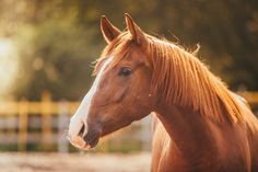The Humane Society of the United States (HSUS) estimates that 130,000 American horses are shipped to Mexico and Canada every year in order to be slaughtered for human consumption.