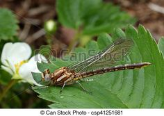 Stock Photo - Dragonfly Macro - stock image, images, royalty free photo, stock photos, stock photograph, stock photographs, picture, pictures, graphic, graphics