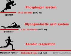 What Happens When You Exercise    So imagine that you start running. Here's what happens:        The muscle cells burn off the ATP they have floating around in about 3 seconds.      The phosphagen system kicks in and supplies energy for 8 to 10 seconds.      Finally, if exercise continues, then aerobic respiration takes over.