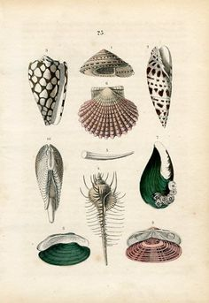 Old German hand colored lithograph print of marine molluscs by F. Martin. Printed by Schmidt & Spring. Stuttgart, Germany, 1876. via Feather and Moss.