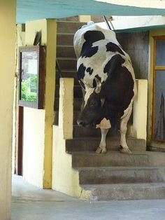Cow on the stairs, Dharamsala, India