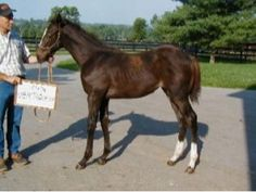 Zenyatta's standing for her yearling ID Photo for Thoroughbred Registry.