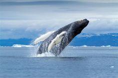 Fauna boreal  El oso polar, la ballena y la foca son los animales más representativos de Groenlandia. Las salidas para avistarlos duran toda una jornada.