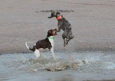 Hound Dogs Running | Kiki Pop the Whippet and Dali the Brasilian...