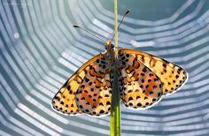 https://flic.kr/p/8vDUKA   Backlight   Fritillary butterfly (Melitaea sp.)  40D, Sigma 150/2.8  My photos on Facebook: Zoltan Gyori Photography  (Explored; Aug 26.,2010)
