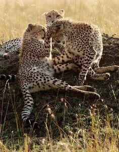 Young Cheetahs playing