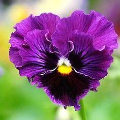 Heart Ruffled Pansy Beautiful gorgeous pretty flowers