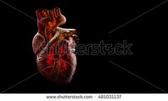 3d Illustration of Anatomy of Human Heart Isolated on black