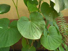 http://curaplantas.xpg.uol.com.br/imagens%20plantas/potomorphe.jpg