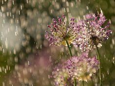 Flores con lluvia,