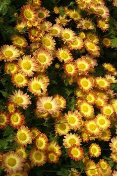 Chrysanthemum 'Dernier Soleil' or Dendranthema 'Dernier Soleil'