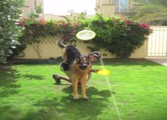 This Dog Trainer Has Successfully Trained His German Shepherd to Do The Hardest Tricks