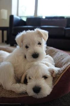 *** WHITE Miniature Schnauzer Pups ***  This was my puppy, now he's all big, but still cute :)