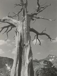 1932 Dead Tree near Little Five Lakes, Sequoia National Park [dead trunk with flaring branches at top, mountain landscape below, puffy scattered clouds] by Ansel Adams 84.90.733
